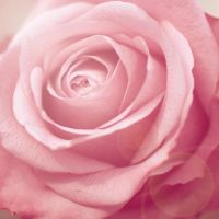 Lieveheersbeestje Rose by catchingfyre