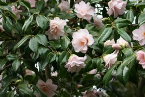 view to camellias by ingeline-art