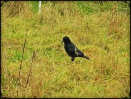 He, Crow. by Daenel