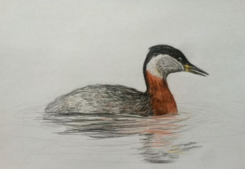 Red-necked grebe by femori