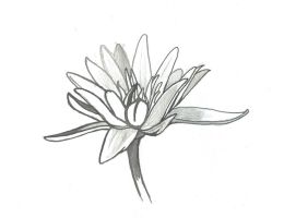 India Ink Water Lilly by Allison-beriyani
