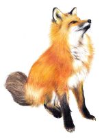 Fox - realistic drawing by Katchina-Q2