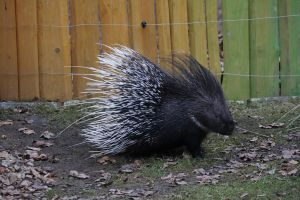 porcupine by fairytale-gone-bad