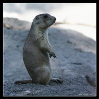Prairie Dog 11 by Globaludodesign