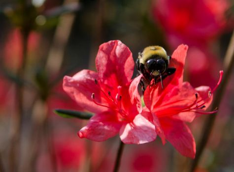 Bumble Bee by CombatCamera09