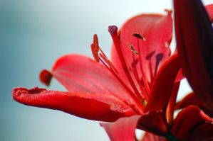 Close up Red Flower by jrbamberg