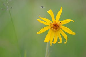 planet arnica by mescamesh
