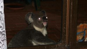 KOALA AT DOOR 2 by LESHA
