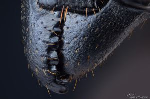 Ant jaws by AlHabshi