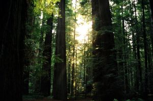 Redwood Forest by Aquarianeye