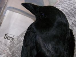 :Raven The Crow: by Nukeleer