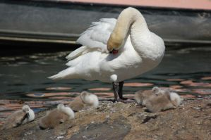 Swan and babies 3 by decors