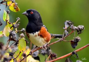 Spotted Towhee by AzureWindProductions