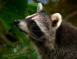 Curious Raccoon by TheFunnySpider