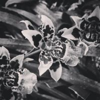 Black and White Orchid by MrsUnderground