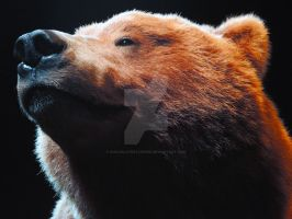 Becoming Los Angeles-Grizzly Bear Closeup by ChocolateStarfire