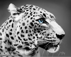 Leopard by gavwoodhouse