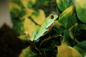 Red Eyed Tree Frog by DanikaMilles