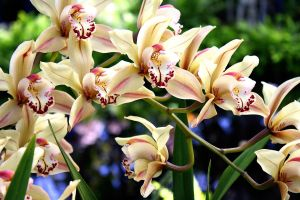 Cream Orchids by GChristou