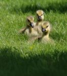 Goslings 3 by barcon53