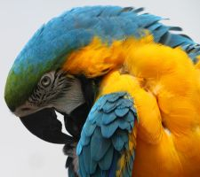 Blue Gold Macaw by zootnik