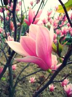 Magnolias by BehindGreenEy3s
