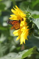 Monarch and Sunflower 2 by CASPER1830