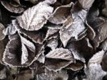 Frozen leaves by DenyG