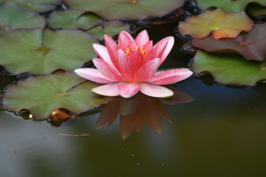 Water Lily#1 by geco-grain