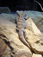 Spiny-tailed Lizard by JollyStock