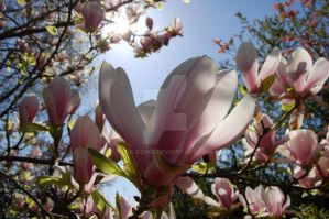 Magnolia by JulieDing