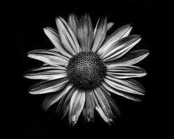 Backyard Flowers In Black And White 18 by thelearningcurve-da