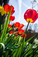 Tulips (5) by Mocris