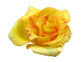 Yellow Rose PNG by Vixen1978