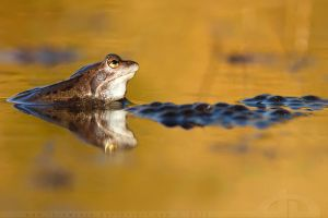 Frog in Orangejuice by thrumyeye