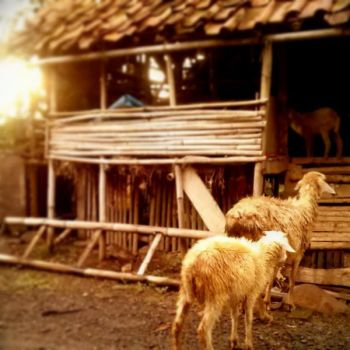 home sheep home by subhannugraha