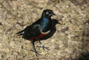 Superb Starling by Tinap