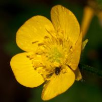 Bug on a Buttercup by taffmeister