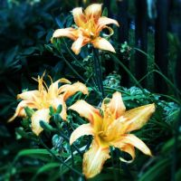 Backyard Lilies by DarlingChristie