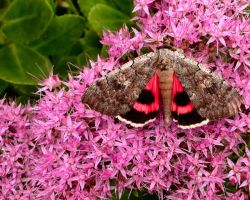 sedum and moth by sherln