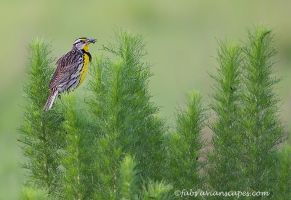Eastern Meadowlark by FForns
