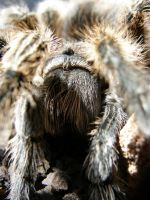 Grammostola Rosea, mah pet by redtailhawker