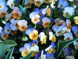 Little Pansies by Oddstuffs