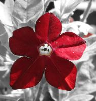 Red Nicotiana Flower by Kitteh-Pawz