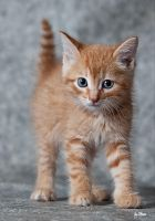 GingerCat by Hope72