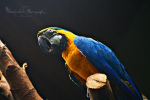 Blue and Yellow Macaw 1 by Thunderbolt-Designs