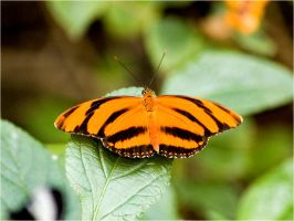 orange butterfly by Constant-Wegman