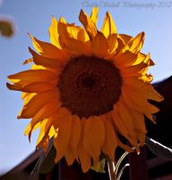 Sunflower 3 by melly4260