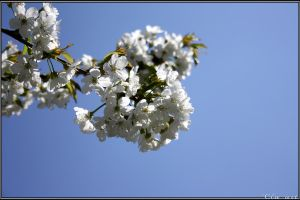 Apple blossoms by Clu-art
