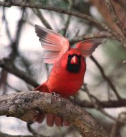 Red Cardinal by tidesend